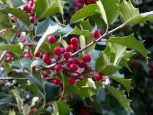 My life in appalachia - Holly Trees