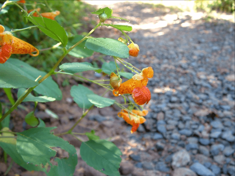 Jewelweed in appalachia