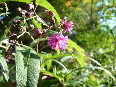 Folklore about ironweed