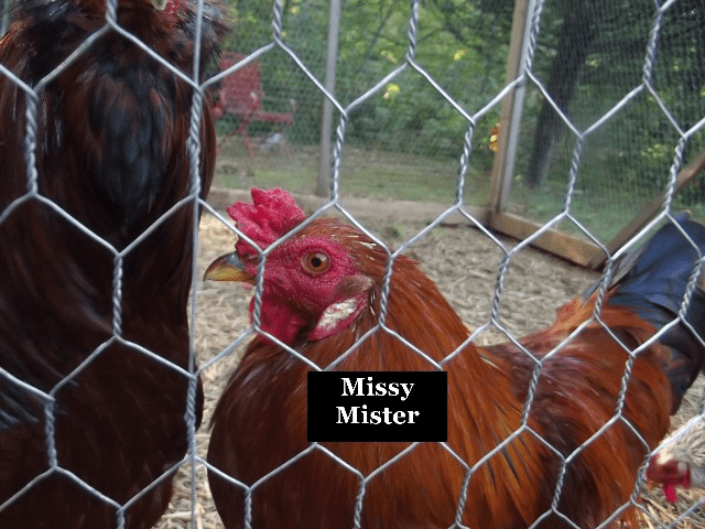 Missy the rooster