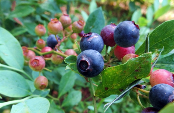 Blueberry in appalachia
