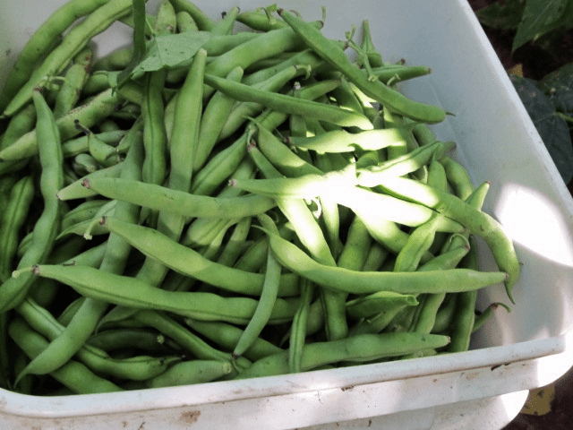 Growing sow true seed greenbeans