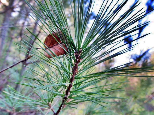 Pine needles are called twinkles in appalachia