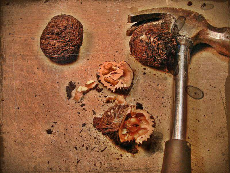 John parris writes about black walnuts haywood county nc