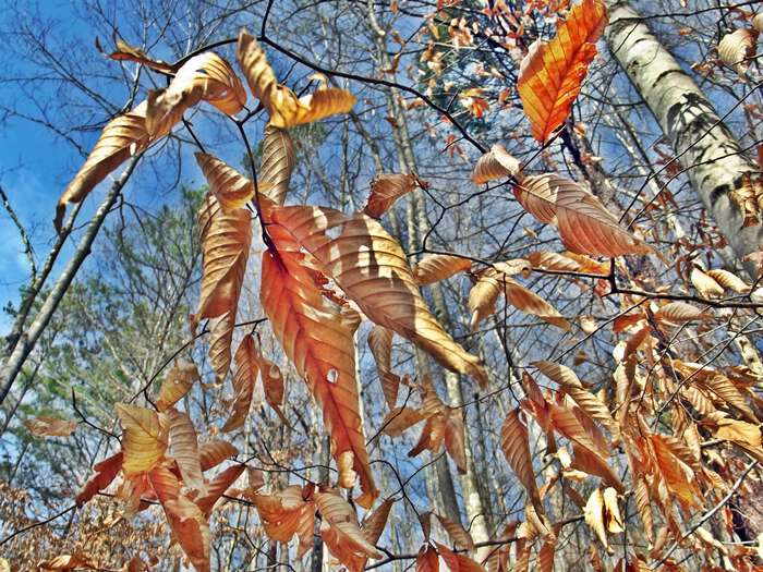 Beech trees wear golden garments in appalachia