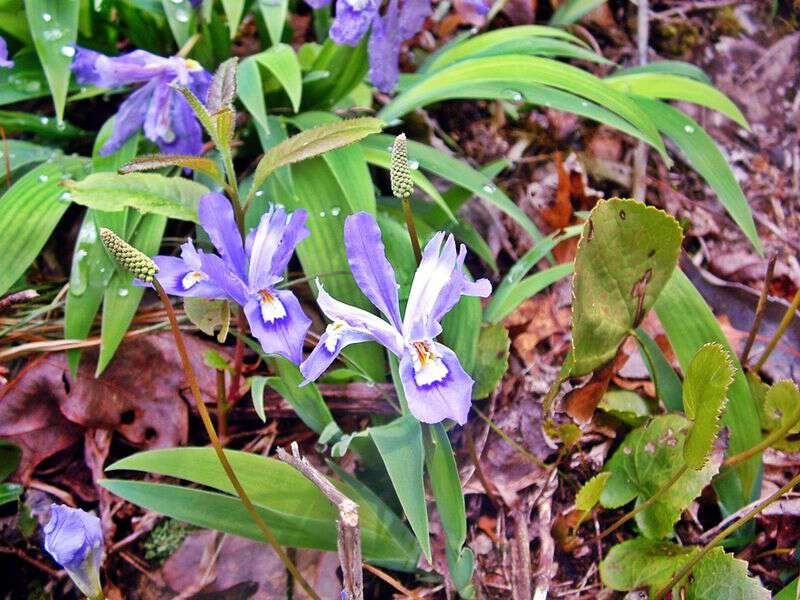 Dwarf crested iris in wester nc