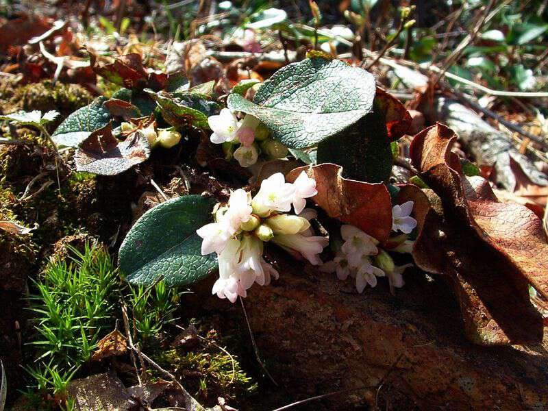Gravelweed trailing arbutus