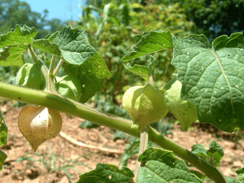 Growing ground cherries