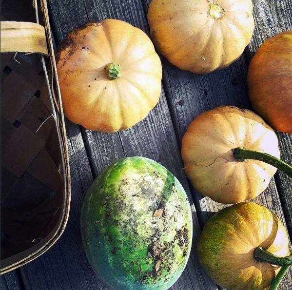 Seminole pumpkin growing in appalachia