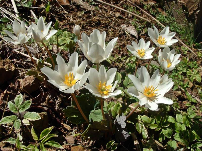Bloodroot growing in western nc mountains