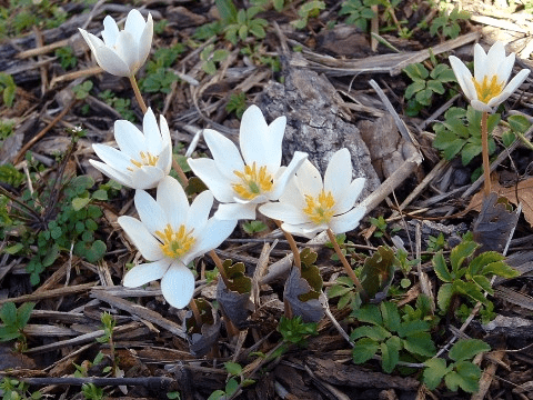 bloodroot information from Appalachia
