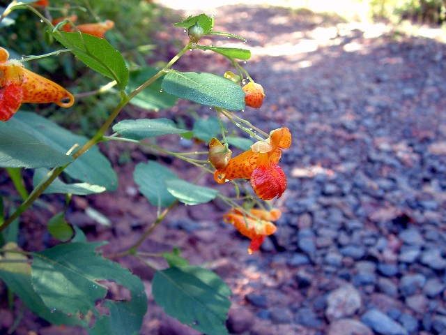 Jewelweed for posion oak
