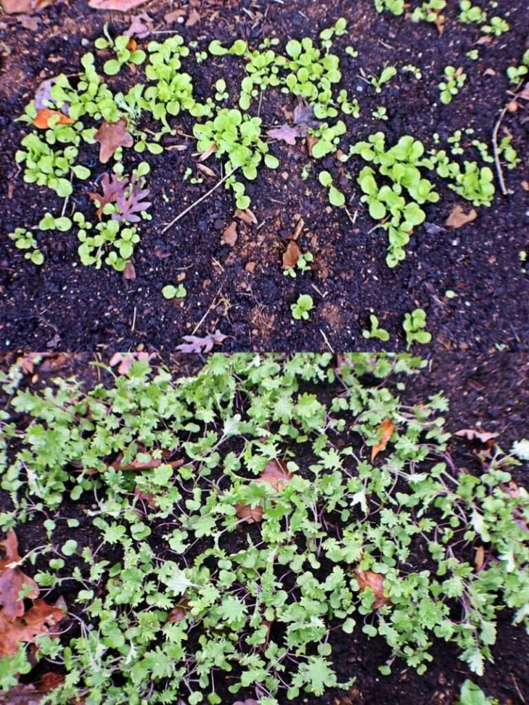 kale and lettuce growing