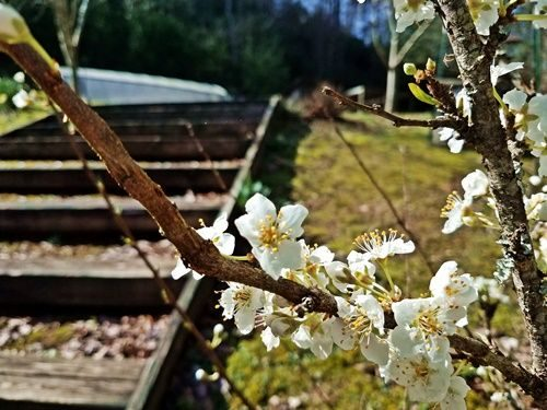 plum-tree-bloomed-out-too-soon
