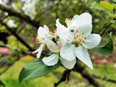 Apple-blooms-in-Brasstown