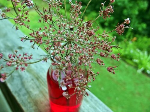 queen anns lace in a jar of red water