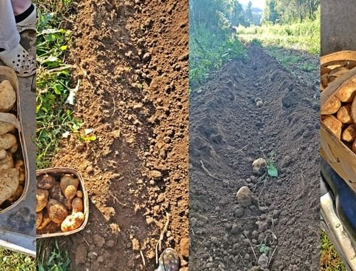 potatoes being dug from the ground and placed in baskets